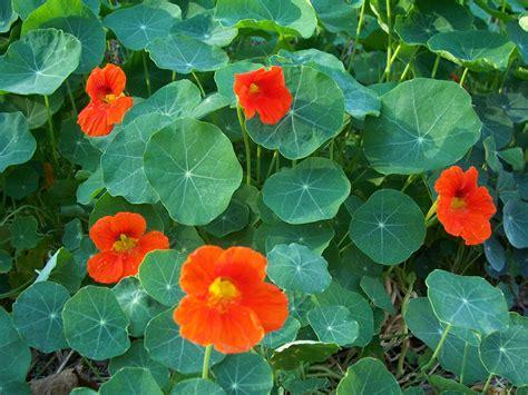 Garden Nasturtium by Nasturtium Jewell Nasturtium Organic Herb Plant Photo