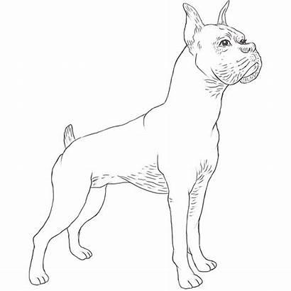 Dog Boxer Breed Breeds Dogbreedslist Coloring