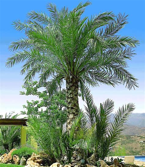 chilenische honig palme garten winterharte palmen