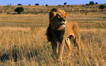 Lion Male Wallpapers Animals Lions Cool African