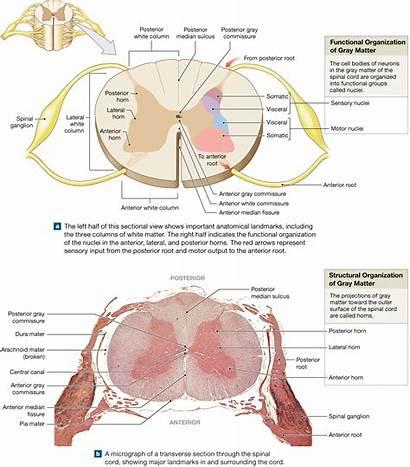 Spinal Cord Matter Gray Anatomy Diagram Pearson