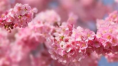 Sakura Blossom Spring 5k Trees Cherry Nature