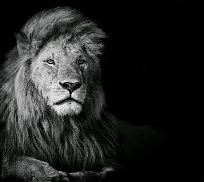 Lion Animals Wallpapers 4k Leones Nero Px