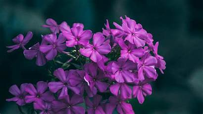 Flowers Lilac Wallpapers 1080p Background Inflorescences Macro