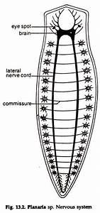 Invertebrate Nervous System  With Diagram