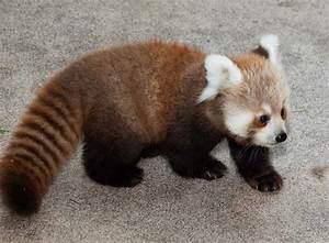 40 Adorable red panda pictures (40 pics) | Amazing Creatures