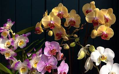 Orchid Orchids Desktop Wallpapers Flower Pink Phalaenopsis