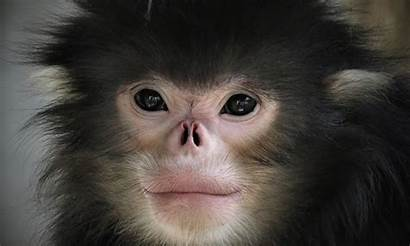 Monkey Endangered Area Critically Protected Nosed Myanmar