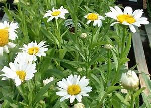Shasta Daisy Becky - Tree Top Nursery & Landscape Inc