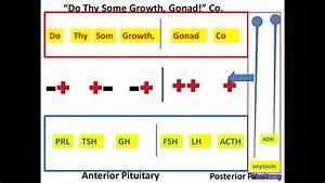 Hypothalamic-pituitary Mnemonic  Pt Ii  Wmv