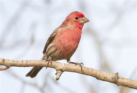 do house finches migrate 28 images do house finches