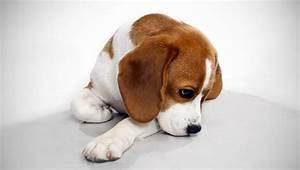 Beagle : Dog Breed Selector : Animal Planet