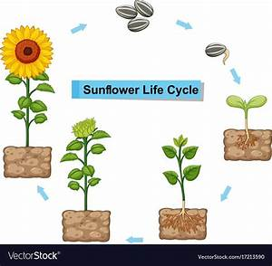 Diagram Showing Life Cycle Of Sunflower Vector Image On