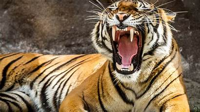Tiger Tigre Animal Fondo Pantalla 4k Ultra
