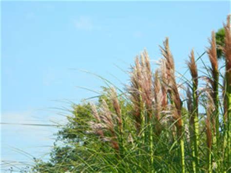 Schilf Im Garten, Schilfgräser  Pflege, Schneiden Und