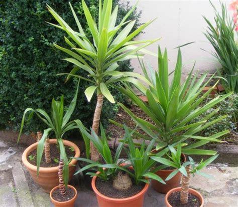 Yucca Palme Wie Oft Gießen by Kopfsteckling Jk S Pflanzenblog Part 3