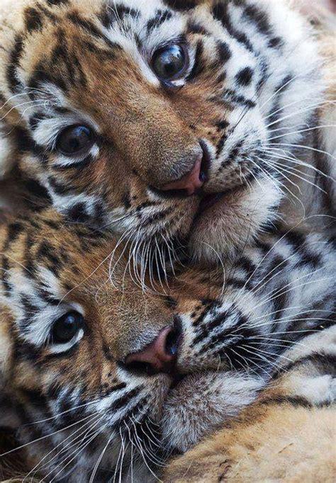cutest tiger cubs luvbat