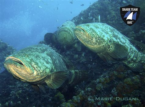 grouper goliath florida mission waters needs still help shark cycle turtle
