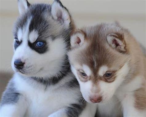 outstanding siberian husky puppies  adoption