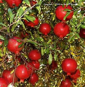 Pomegranate  U0026 39 Wonderful U0026 39