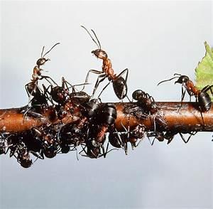 Was Mögen Ameisen Nicht : insekten so sieht die verkehrsetikette der ameisen aus welt ~ Orissabook.com Haus und Dekorationen
