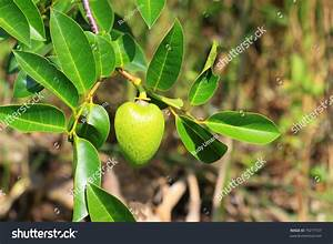 Close Up Of A Pond Apple Or Alligator Apple (Annona Glabra ...