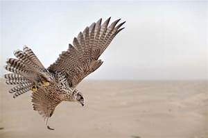 Soaring above the Arabian Desert with a falcon as your ...  Falcon