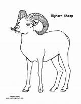 Sheep Coloring Bighorn Pages Horns Russell Colouring Pdf Nature Template Exploringnature sketch template