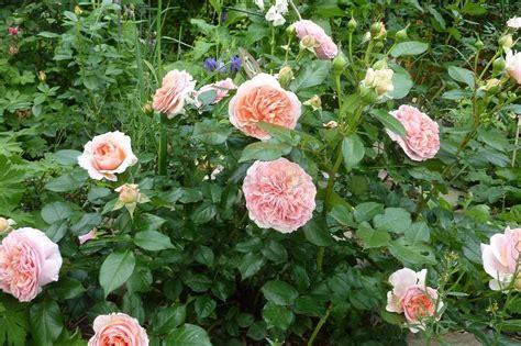 chippendale edelrose kaufen bei agel rosen