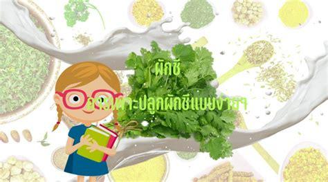 ผักชี วิธีปลูกผักชีแบบง่าย ทำได้เองไม่ยากกับขั้นตอนที่แสนง่าย