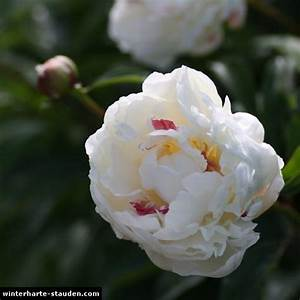 Winterharte Stauden Lila : pfingstrose paeonia lactiflora ~ Markanthonyermac.com Haus und Dekorationen