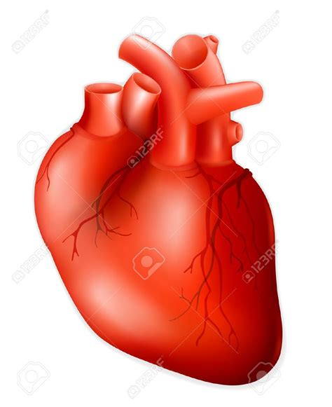 Human Heart Clipart For Kids Clipartxtras