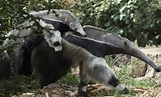 Giant anteater | Smithsonian's National Zoo