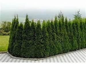 Thuja Brabant Oder Smaragd : pflanzendiscount schweiz thuja christbaum mieten pflanzendiscount schweiz thuja christbaum mieten ~ Orissabook.com Haus und Dekorationen