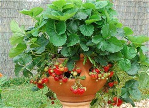 quand planter fraisier en pot la plantation d un fraisier en pot