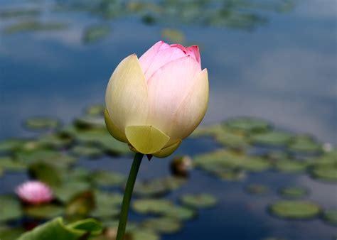 PlantZee: Information On Sacred Lotus Flower