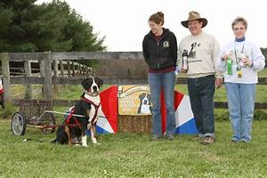 Greater Swiss Mountain Dog Pulling