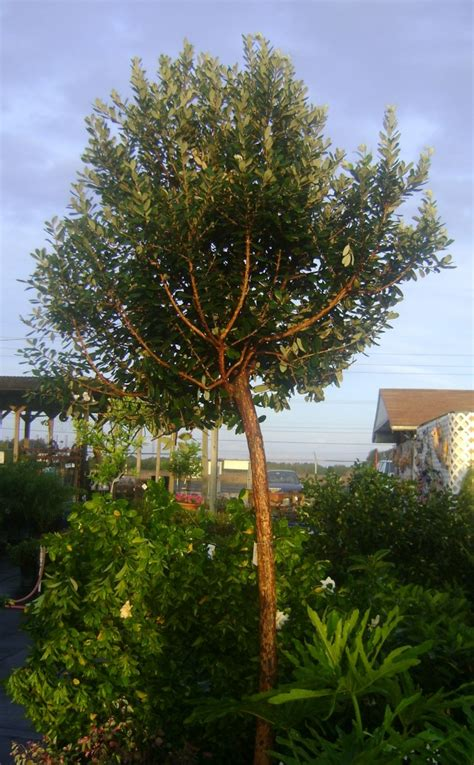 asian guava tree buy  miami kendall ft lauderdale