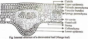 Draw A Labelled Diagram Of Internal Structure Of Dicot