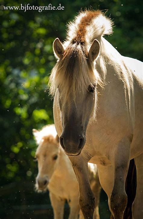 fjord horse norwegian horses mare foal predictably unpredictable these wild appaloosa pony