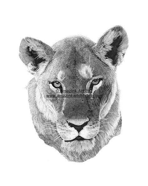 "Drawings Tagged ""Female Lion"" - AmazInk Wildlife Art"