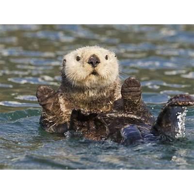 Sea Otter Prince William Sound Alaska USA Fotoprint van
