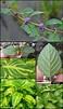Gingermint : Mentha xgracilis - Lamiaceae (Mint)