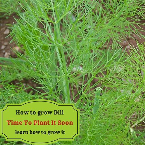 grow dill in pot how to grow dill time to plant it soon learn how to grow it growing and harvesting garden