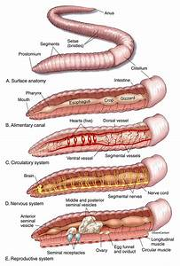 Earthworm Internal And External Anatomy