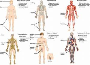 Human Organ Systems And Their Functions | www.pixshark.com ...
