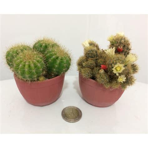 กระบองเพชรสวยๆ cactus   Shopee Thailand