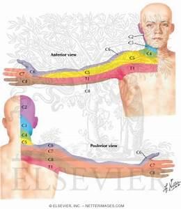 Cervical Dermatome Map http://www.netterimages.com/images ...