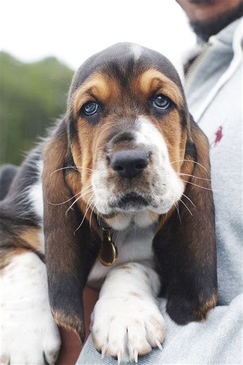 reasons basset hounds    worst dogs