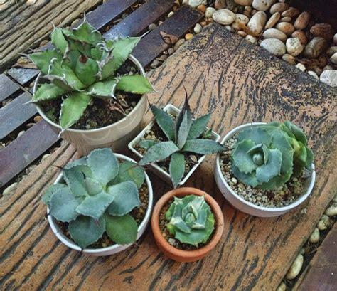 . #mini3garden #cactusway . #ดินพร้อมปลูกแคคตัส / #ปุ๋ย ...
